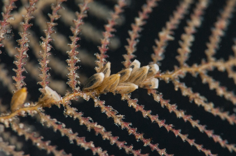 Coarse sea fern hydroid, Abietinaria, sp.<br /> Golf Ball Reef, Palos Verdes, California