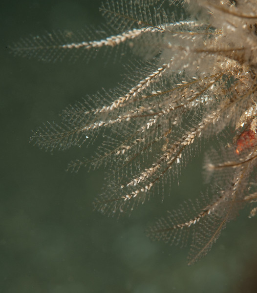 Plumularia sp.  <br /> Torrance Reef, Los Angeles County, California