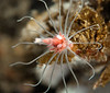 Solitary Pink-Mouth Hydroid