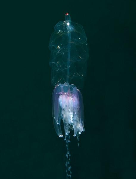 Physophora hydrostatica<br /> Barge, Redondo Beach, California