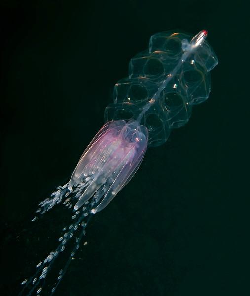 Physophora hydrostatica<br /> Hawthorne Reef, Palos Verdes, California