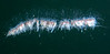 Apolemia uvaria<br /> Barge, Redondo Beach, California