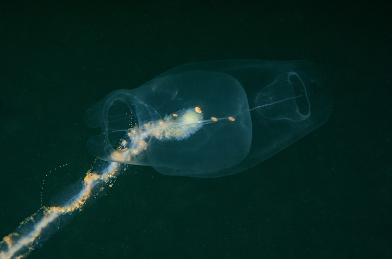 Giant siphonophore, Praya sp.<br /> Offshore the south side of Palos Verdes, California