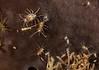 Podocerus cristatus on gray sponge<br /> Kevin's Reef, Palos Verdes, California
