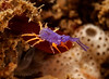 Podocerus cristatus amphipod<br /> Little Reef, Palos Verdes, California