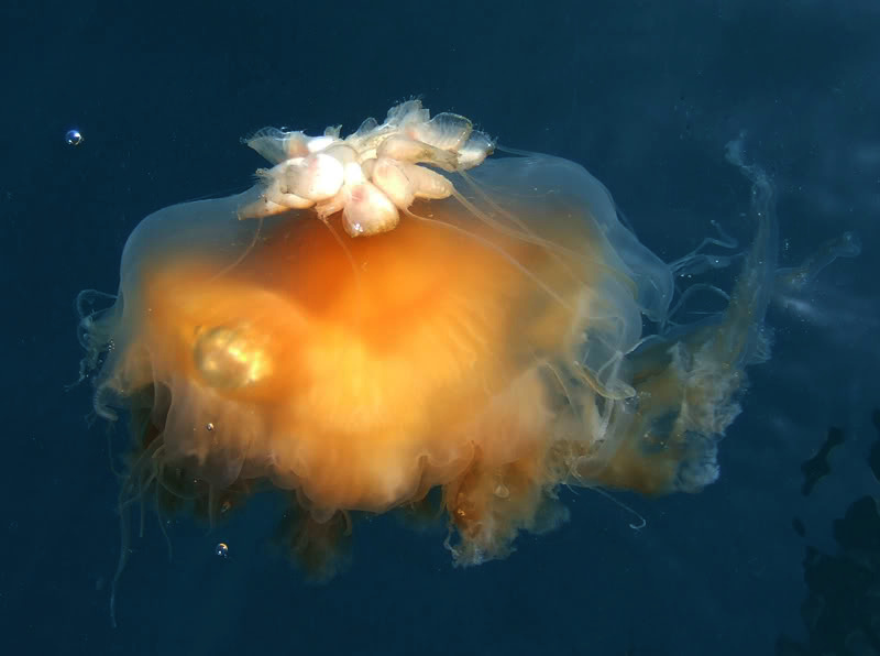 Jellyfish barnacle, Alepas pacifica