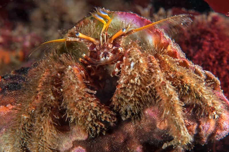Furry hermit crab, Paguristes ulreyi<br /> Golf Ball Reef, Palos Verdes, California