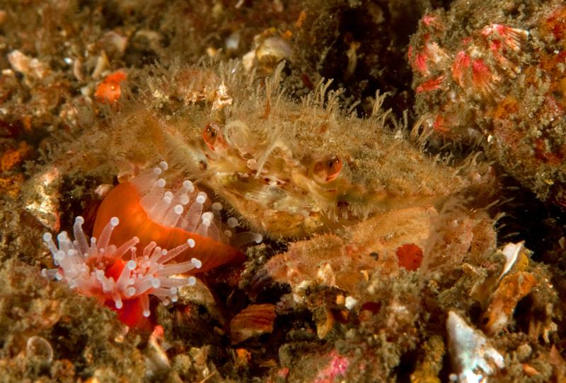 Retiring hairy crab, Pilumnus spinohirsutus <br /> <br /> ID thanks to Dr. Mary Wicksten<br /> Barge, Redondo Beach, California