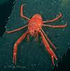 A species of squat lobster
