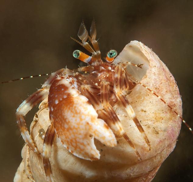Phimochirus californiensis