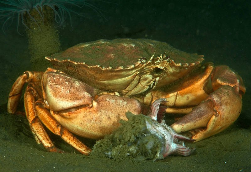Yellow crab, Cancer anthonyi<br /> Old Marineland Platform, Palos Verdes, California