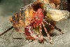 Hermit crab<br /> Phimochirus californiensis<br /> Topaz Pilings, Redondo Beach, California