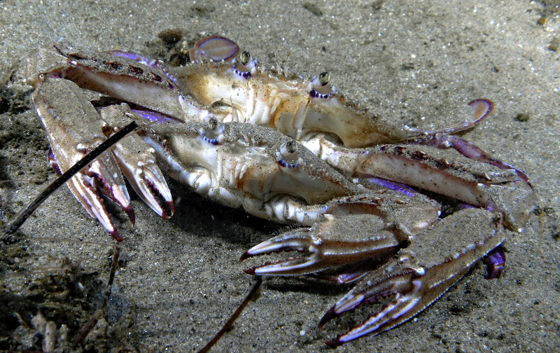 Swimming crabs,  Achelous xantusii (formerly Portunus xantusii)