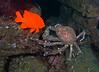 Sheepcrab<br /> Loxorhynchus grandis<br /> Landing Craft, Palos Verdes, California