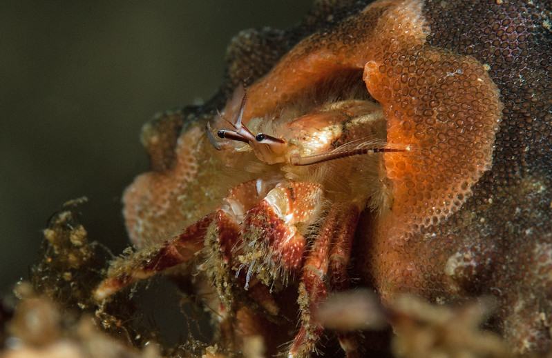 "Undescribed hermit crab, Paguristes sp.<br /> ID thanks to Greg Jensen.  <br /> See page 216 in Jensen's 2014 ""Crabs and Shrimps of the Pacific Coast"".  <br /> <br /> Little Reef, Palos Verdes, California"