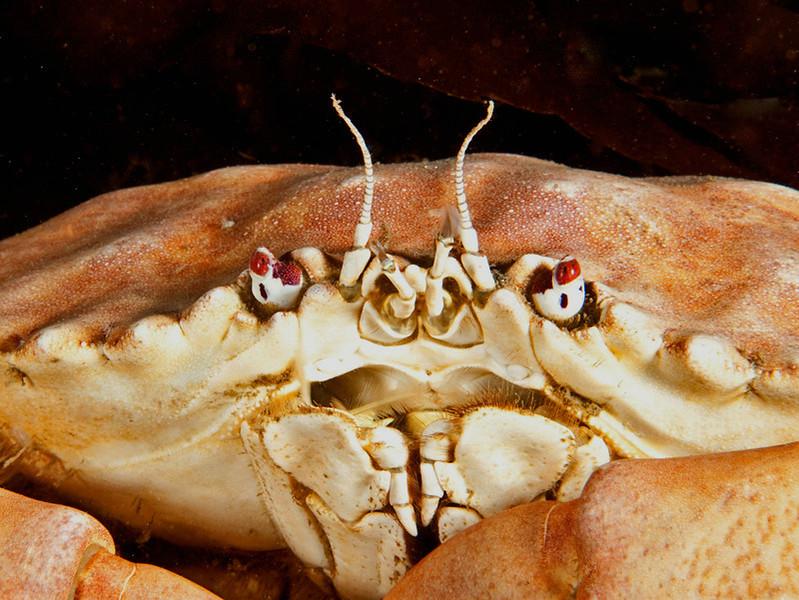 Yellow crab, Cancer anthonyi<br /> Phil's Reef, Redondo Beach, California