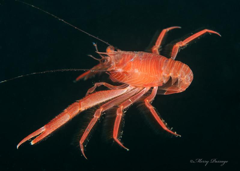 Tuna crab, a species of squat lobster<br /> Pleuroncodes planipes<br /> Golf Ball Reef West, Palos Verdes, California