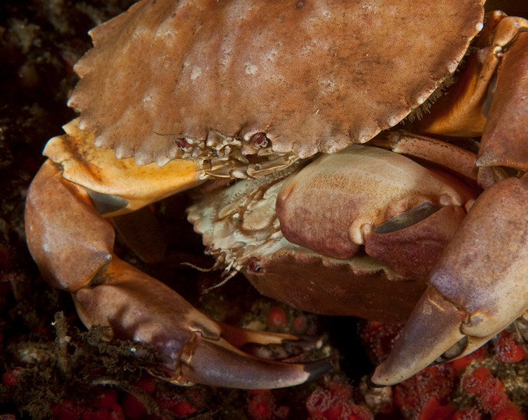 Yellow crabs mating, Metacarcinus anthonyi, formerly Cancer anthonyi<br /> Phil's Reef, Redondo Beach, California