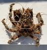 Crab caught in fishing line<br /> Spongehenge, Hermosa Artificial Reef, Los Angeles County, California