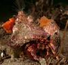 Hermit crab<br /> Phimochirus californiensis<br /> Topaz Pilings, Redondo Beach, California