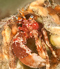 Broadhand hermit crab, Phimochirus californiensis<br /> Topaz Pilings, Redondo Beach, California