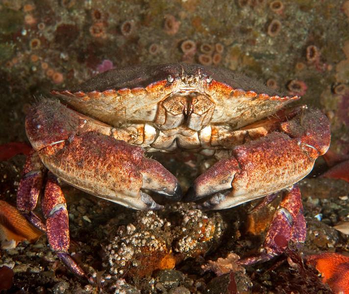 Yellow crab<br /> Cancer anthonyi<br /> Phil's Reef, Redondo Beach, California