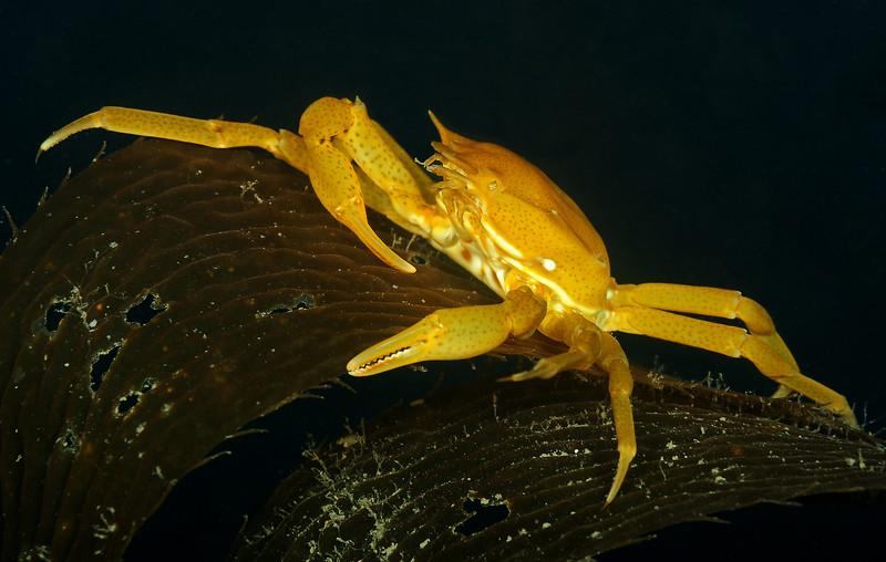 Southern kelp crab, Taliepus nuttallii<br /> Golf Ball Reef West, Palos Verdes, California