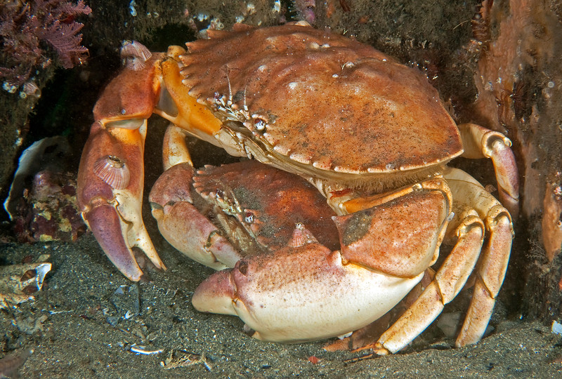 Yellow crabs mating<br /> Metacarcinus anthonyi, formerly Cancer anthonyi<br /> Topaz Pilings, Redondo Beach, California