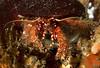 Furry hermit crab, Paguristes ulreyi<br /> Merry's Reef, Palos Verdes, California