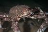 Sheepcrab, Loxorhynchus grandis<br /> Torrance Reef, Los Angeles County, California