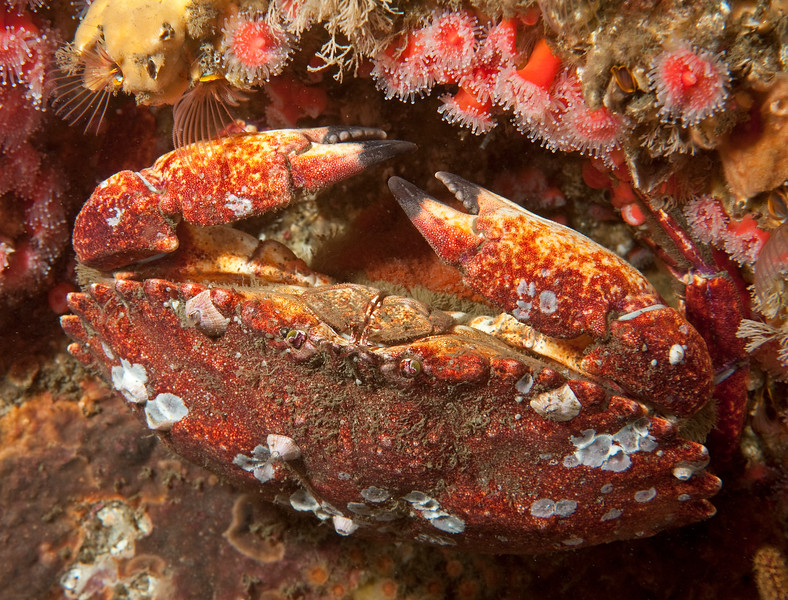 Red rock crab, Cancer productus<br /> Phil's Reef, Redondo Beach, California
