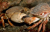 Yellow Crab and Brown Rock Crab scuffle