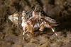 crab ID needed