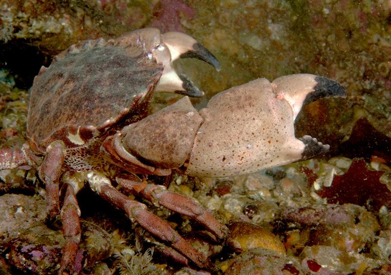 Brown rock crab<br /> Cancer antennarius<br /> Phil's Reef, Redondo Beach, California