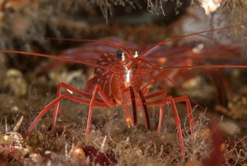 "Red rock shrimp, Lysmata californica<br /> ""Elevated Pipe""<br /> Hyperion 1-mile outfall pipe, El Segundo, California"