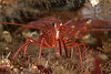 "Red rock shrimp, Lysmata californica<br /> ""Elevated Pipe""<br /> Hyperion 1-mile outfall pipe, El Segundo, California"