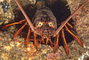 California spiny lobster, Panulirus interruptus<br /> Haggerty's Crane, Palos Verdes, California