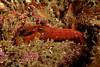 Alpheus bellimanus - Olive Snapping Shrimp<br /> Merry's Reef, Palos Verdes, California