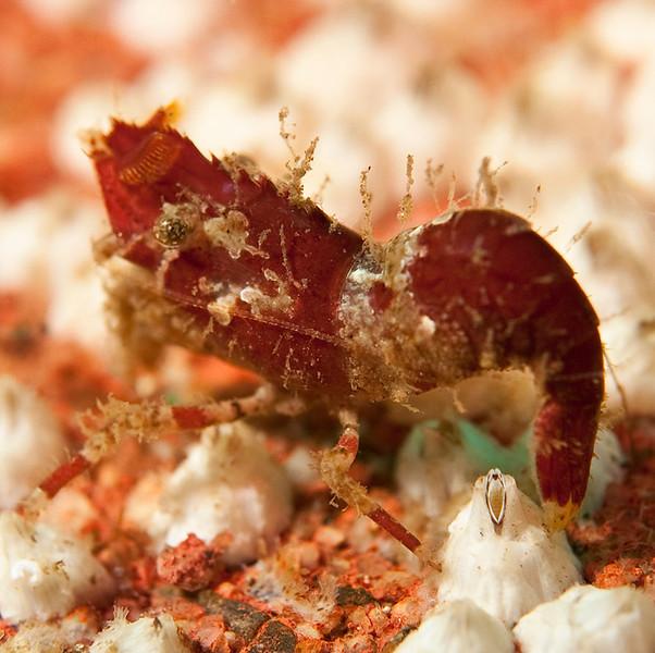 Spirontocaris prionota - Deep Blade Shrimp<br /> ID thanks to Dr. Mary Wicksten<br /> <br /> Barge, Redondo Beach, California