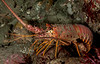 California spiny lobster, Panulirus interruptus<br /> Golf Ball Reef, Palos Verdes, California