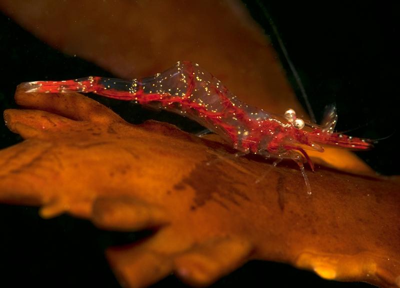 Franciscan shrimp, Heptacarpus franciscanus male <br /> ID thanks to Greg Jensen<br /> Golf Ball Reef, Palos Verdes, Calfornia