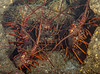 California Spiny lobster<br /> Panulirus interruptus<br /> Haggerty's Crane, Palos Verdes, California