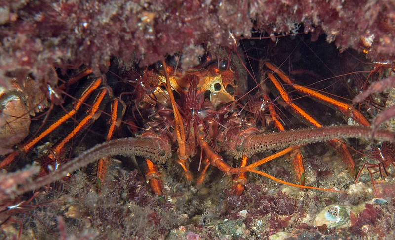 Red rock (cleaner) shrimp and California spiny lobster