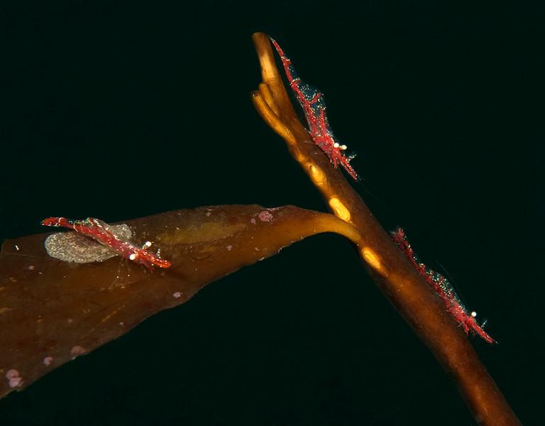 Two male Franciscan shrimp, Heptacarpus franciscanus <br /> ID thanks to Greg Jensen<br /> Golf Ball Reef, Palos Verdes, Calfornia