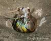Mantis shrimp, a stomatopod