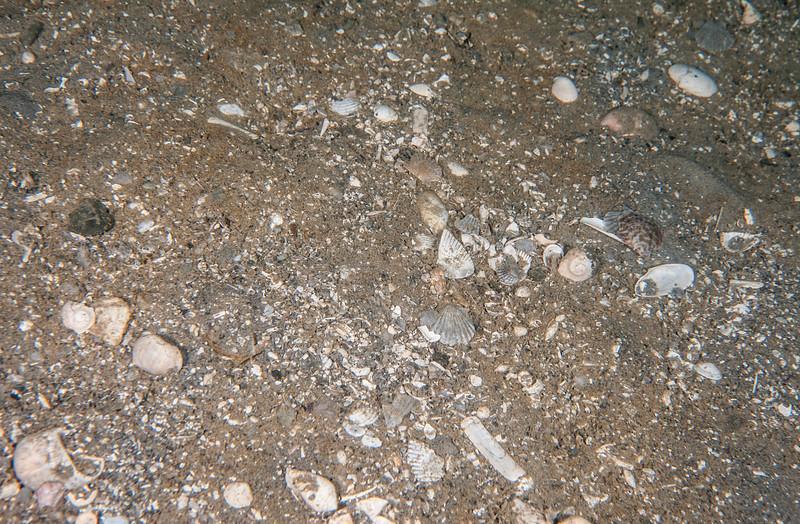 Part of a large patch of broken shells next to a mantis shrimp hole.