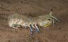 Mantis shrimp_Hemisquilla ensigera californiensis