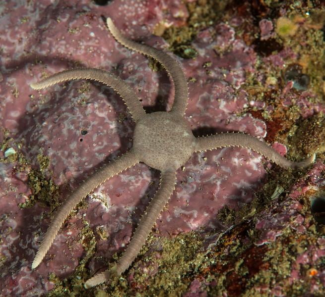 Smooth brittle star ,Ophioplocus esmarki<br /> Camelback Reef, Palos Verdes, California