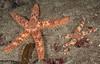 Fragile rainbow stars, Astrometis sertulifera<br /> Golf Ball Reef, Palos Verdes, California