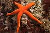 Blood star, Henricia sp.<br /> Golf Ball Reef, Palos Verdes, California
